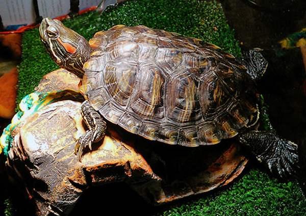 У меня живет красноухая черепаха в домашних условиях